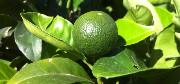 lime on amorgian tree